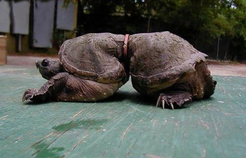 tortoise belt